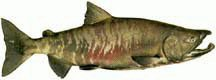 Male, Buck Chum Salmon