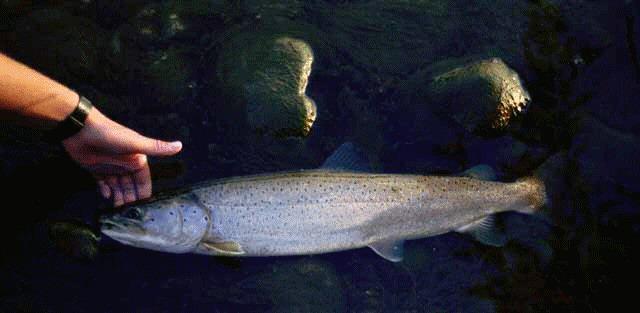 hucho hucho, danube or huchen salmon