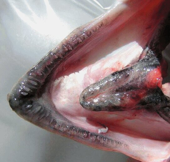 Pink Salmon Lower Jaw