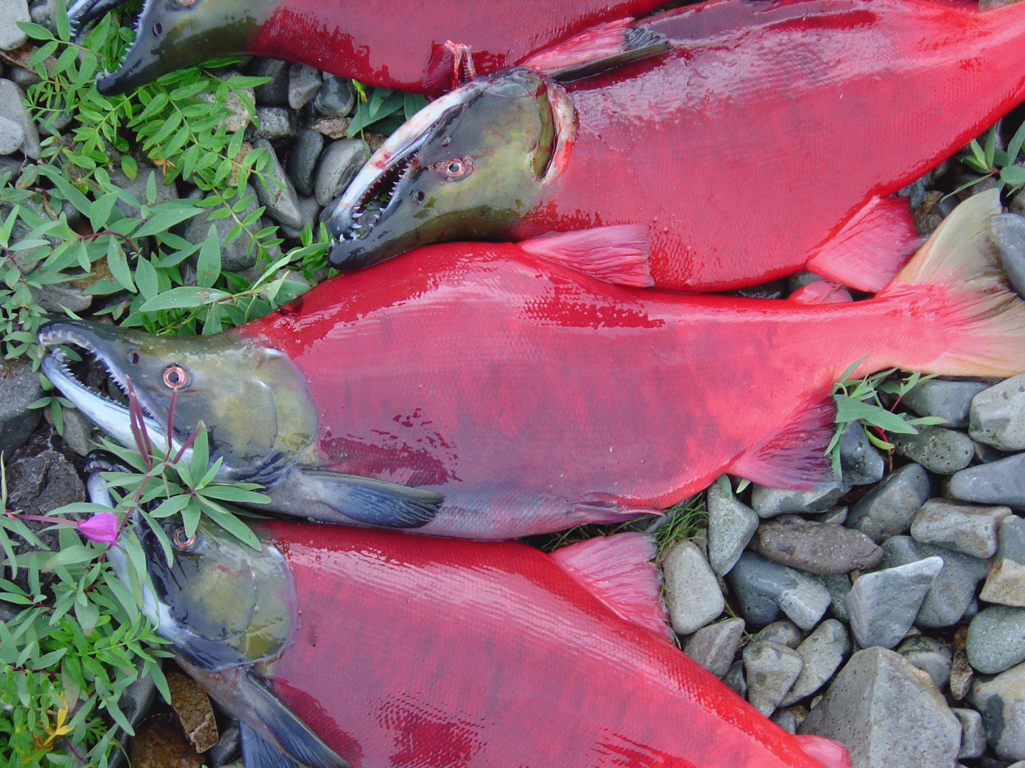Fully spawned Sockeye Salmon