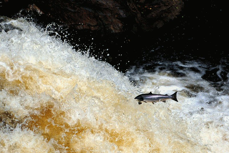 Atlantic Salmon Fish Jumping A River