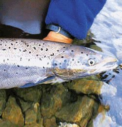 Atlantic Salmon Fishing Close-up Photo