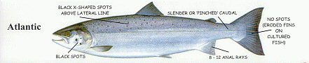 Atlantic Salmon Fish ID