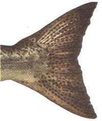 Chinook Salmon Fish Tail