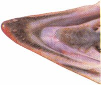 Lwer Chum Salmon Jaw
