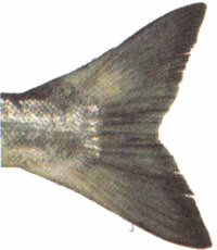 Sockeye Salmon Tail